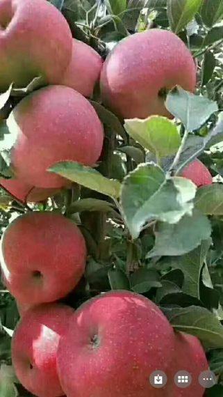 昭通糖心苹果(大果)15斤